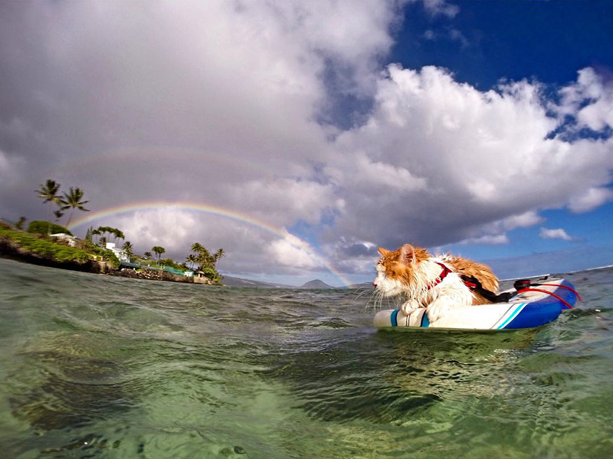 gato-con-un-solo-ojo-surfea-en-hawaii-6