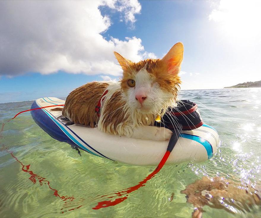 gato-con-un-solo-ojo-surfea-en-hawaii-7