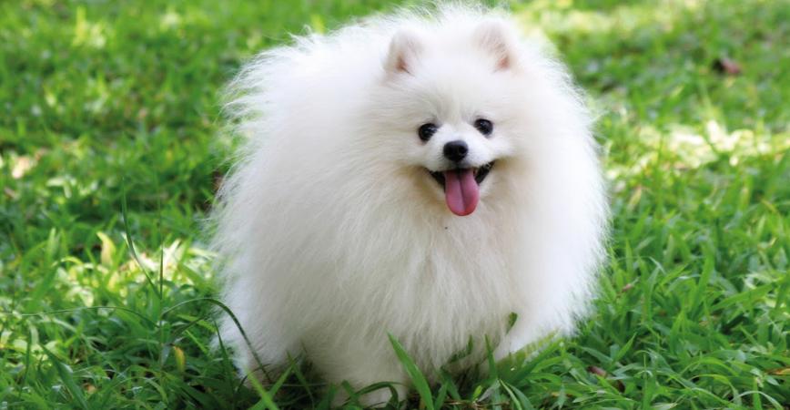 perro-raza-pomerania