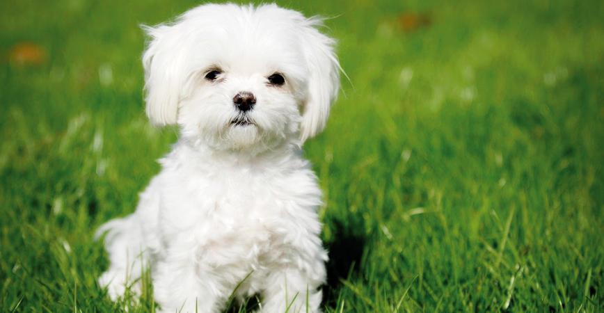 perro-raza-bichon-maltes