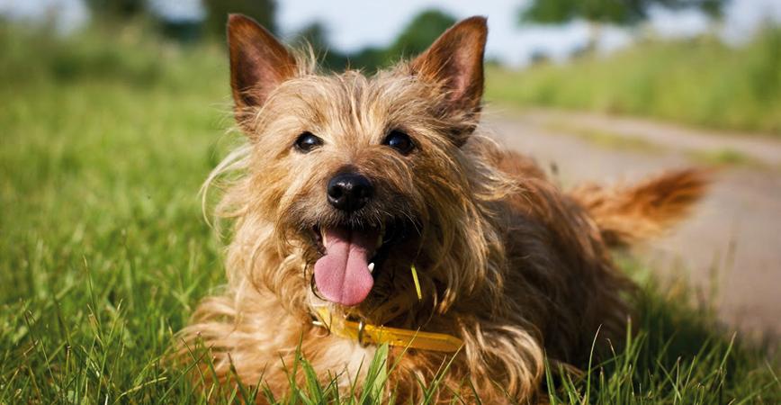 Las 10 Razas De Perros Más Pequeñas En El Mundo Mottpe