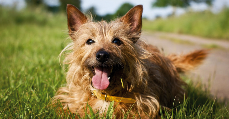 perro-raza-terrier