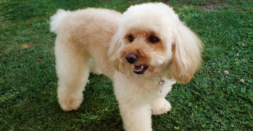 perro-raza-poodle