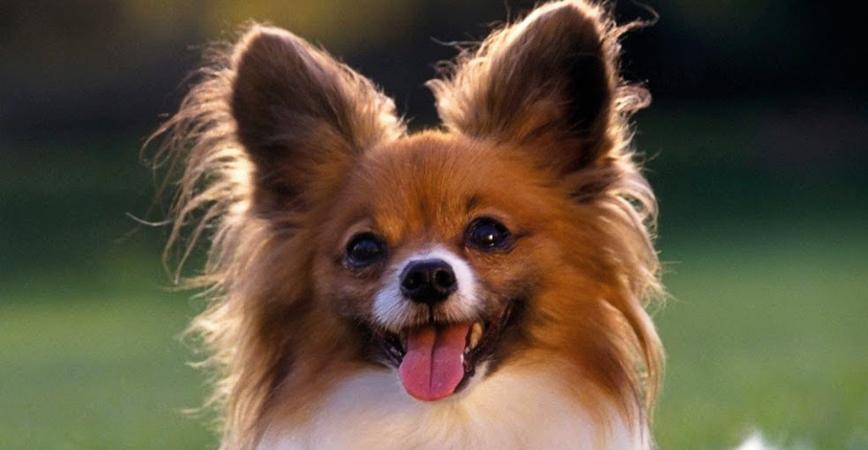 perro-raza-papillón