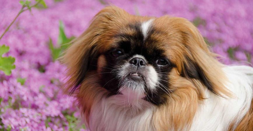 perro-raza-pequinés