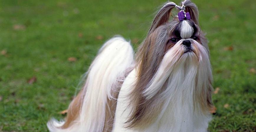 perro-raza-shihtzu