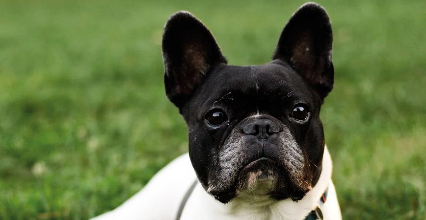 perro-raza-bulldog-francés