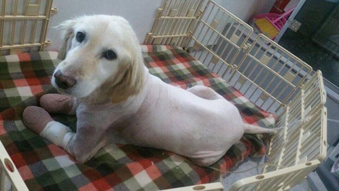 Esta perrita perdió sus 4 patas en un matadero en Corea del Sur. El motivo los destrozará 04