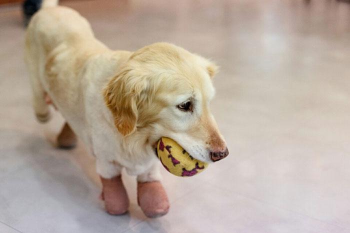 Esta perrita perdió sus 4 patas en un matadero en Corea del Sur. El motivo los destrozará 05