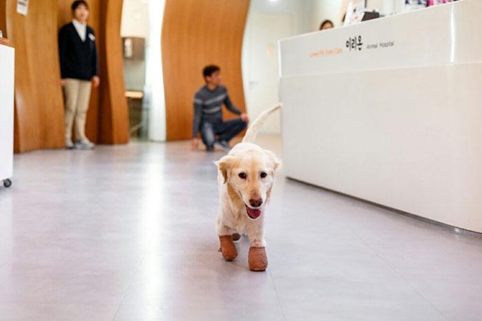 Esta perrita perdió sus 4 patas en un matadero en Corea del Sur. El motivo los destrozará 07