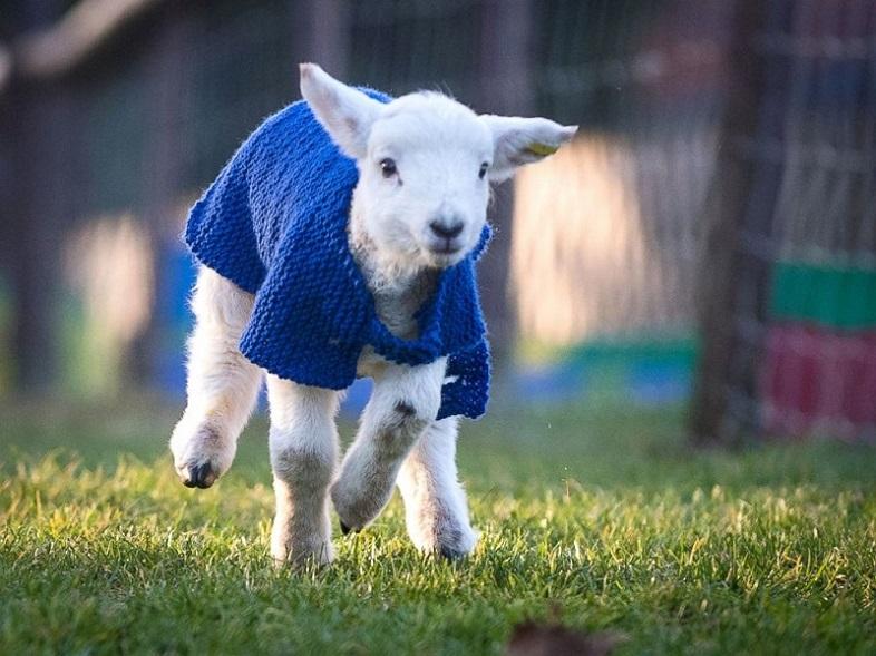 Nada más tierno que estos corderos con chompas de lana 02