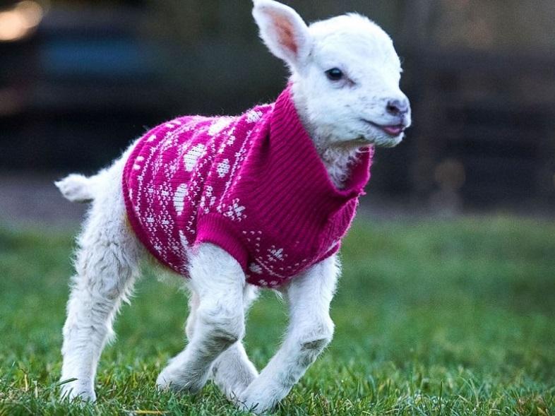 Nada más tierno que estos corderos con chompas de lana 04