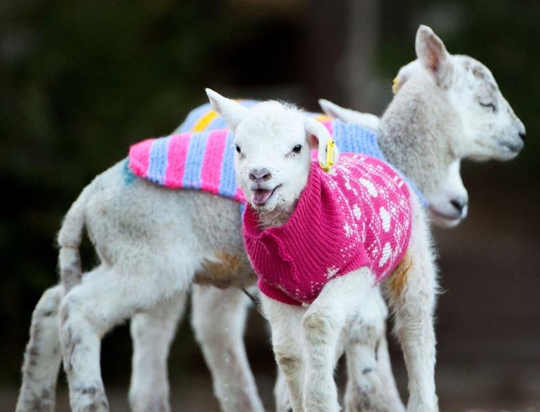Nada más tierno que estos corderos con chompas de lana 05