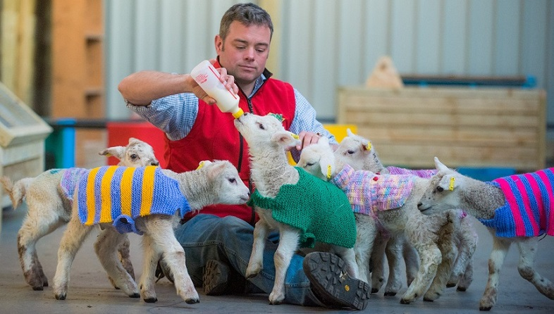 "With spring upon us, secret knitters have donated little jackets to keep these lambs at Avon Valley Adventure and Wildlife Park warm and snug. See SWNS story SWLAMB; The team at Avon Valley are keen to find out who made the jumpers as they would like to thank them in person. The Keynsham park's manager Doug Douglas (pictured) said: ""Monday morning I received an anonymous package which included eight fantastic hand knitted perfectly sized lamb jackets. They are wonderfully coloured and certainly brighten up our animal handling barn."" The farm already has its own plastic jackets which can help increase the lambs' survival chances."