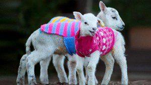 Nada más tierno que estos corderos con chompas de lana