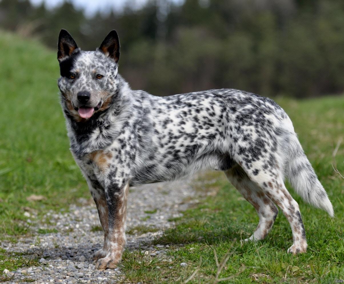 Las 10 razas de perros más inteligentes Pastor Ganadero Australiano