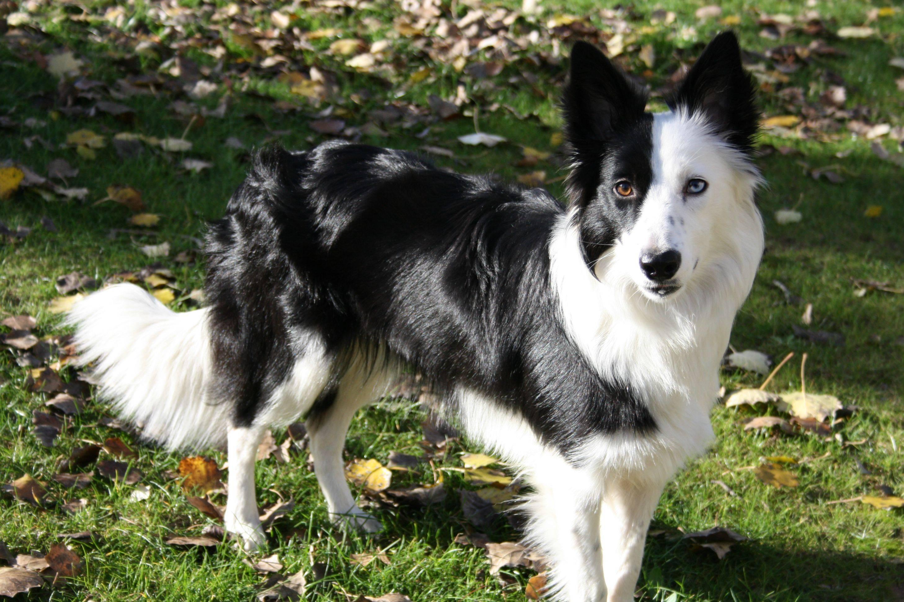 Las 10 razas de perros más inteligentes border collie