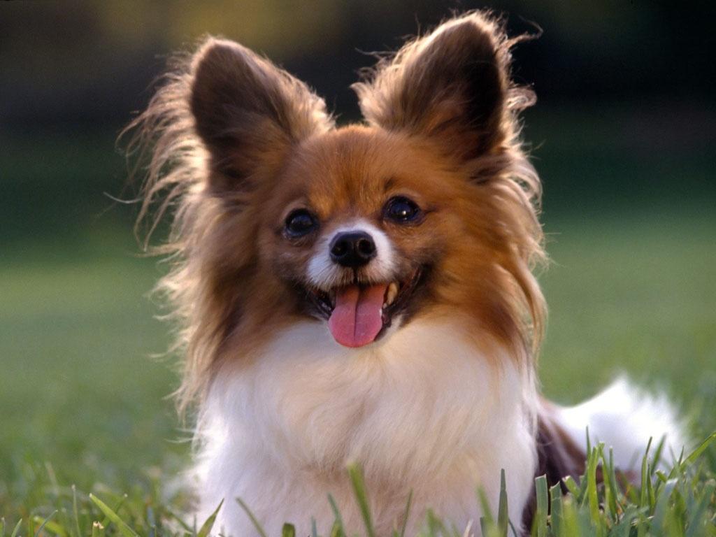 Las 10 razas de perros más inteligentes papillon