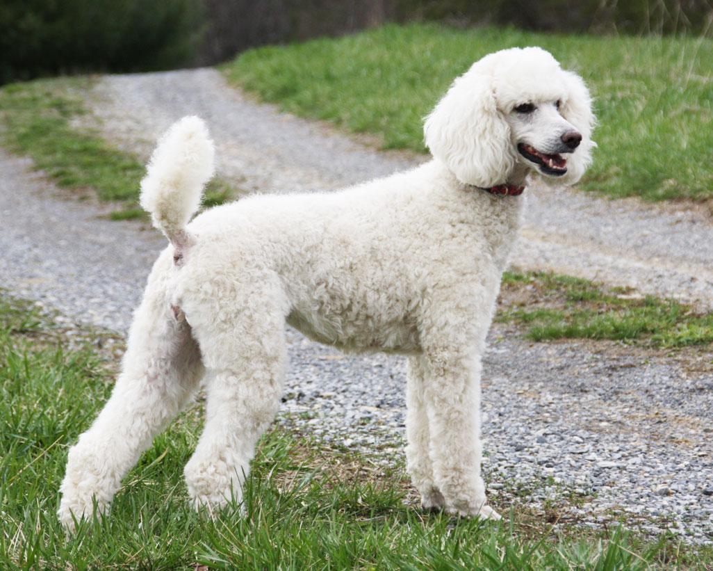 Las 10 razas de perros más inteligentes poodle1