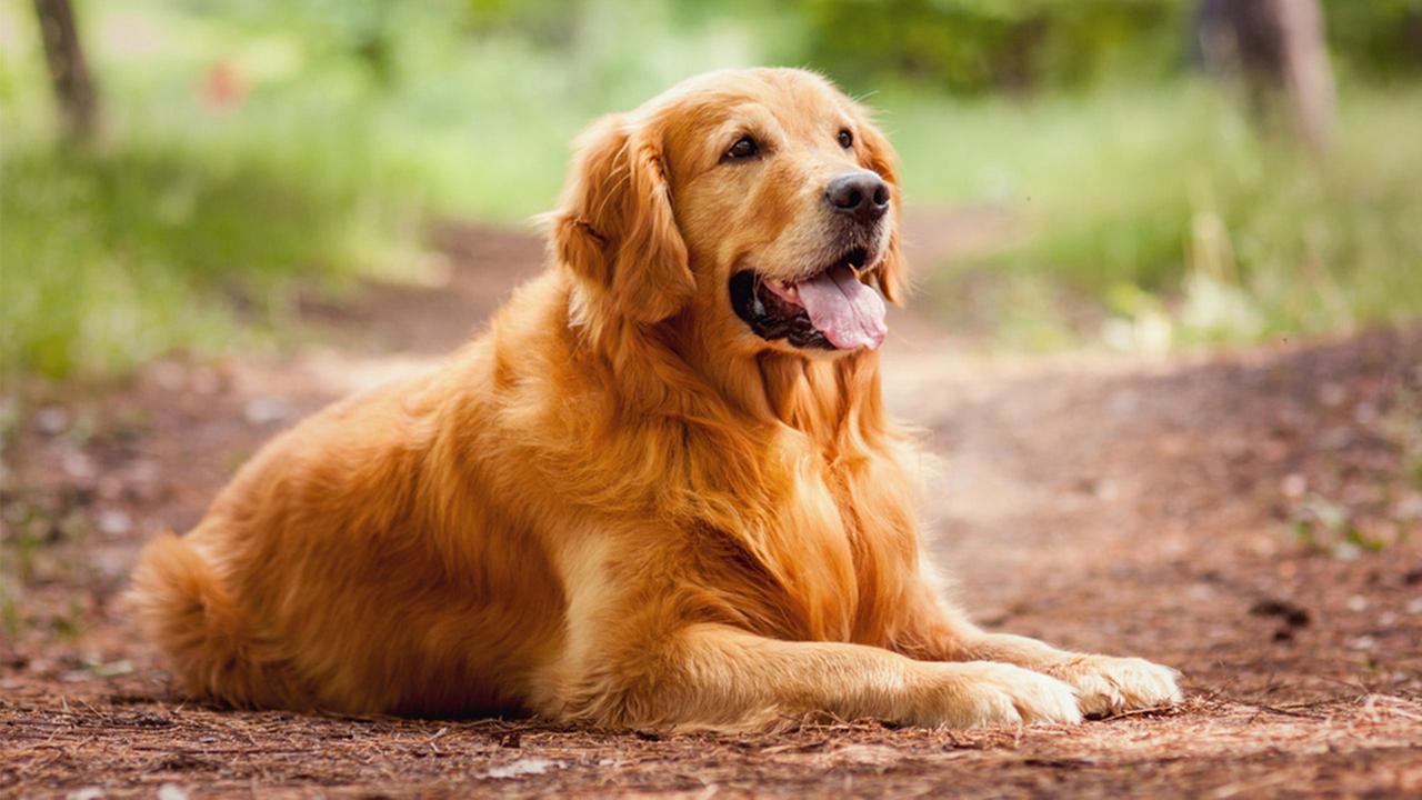 Las 10 razas de perros más inteligentes -golden-retriever