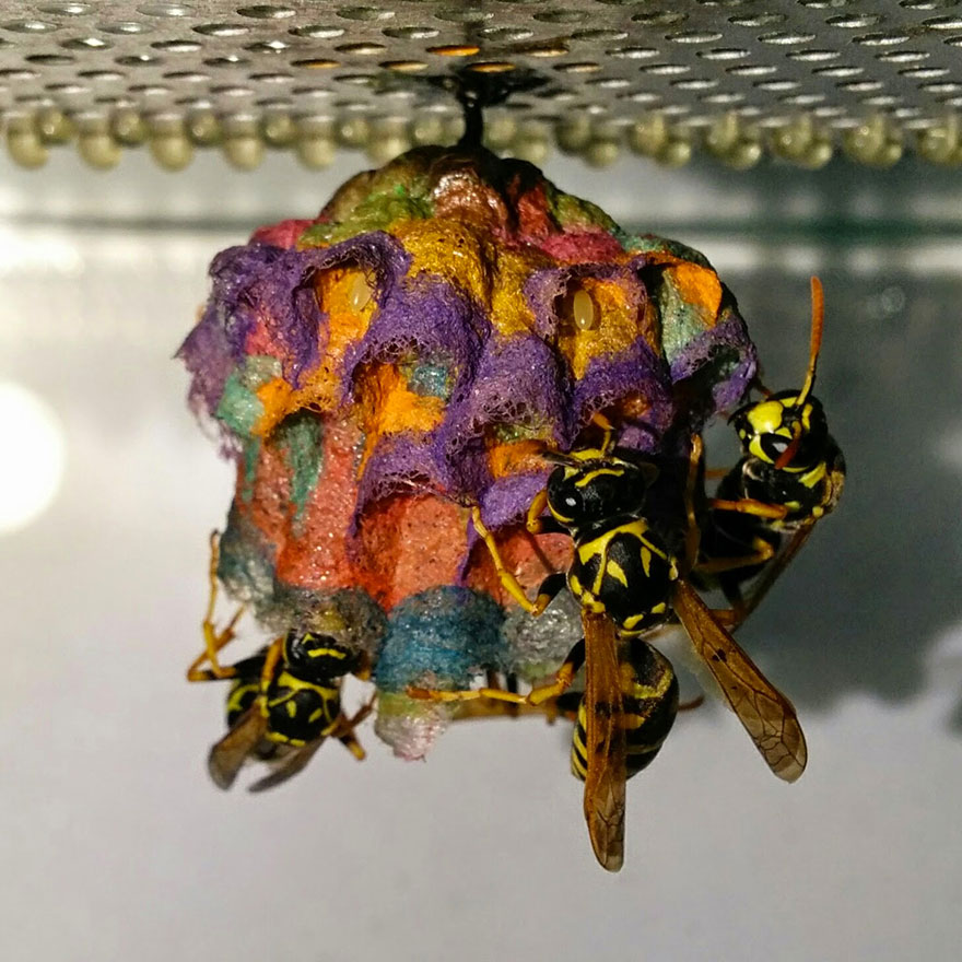 Avispas construyen nidos arcoíris hechos de papel 1