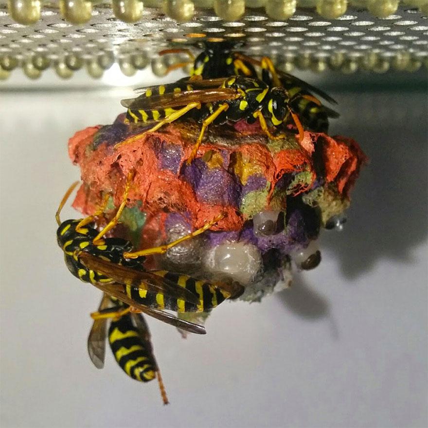 Avispas construyen nidos arcoíris hechos de papel 3
