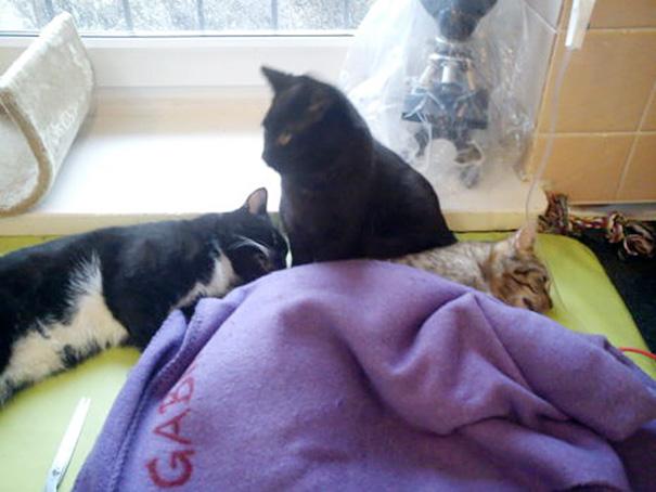 El curioso caso del gato enfermero de Polonia 06