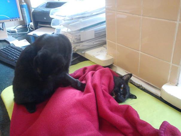 El curioso caso del gato enfermero de Polonia 07