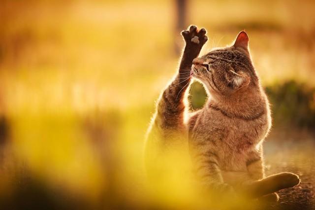 La majestuosidad de los gatos inmortalizada en estas fotos 06