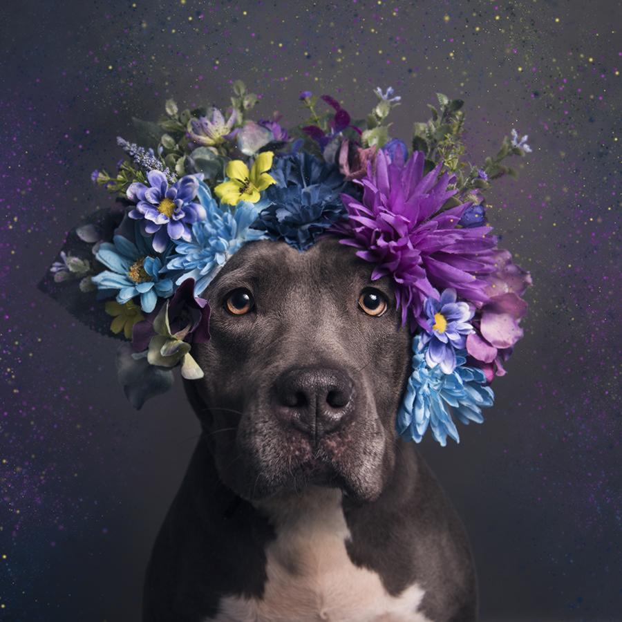 Suavizando el mito de la agresividad del pitbull con flores