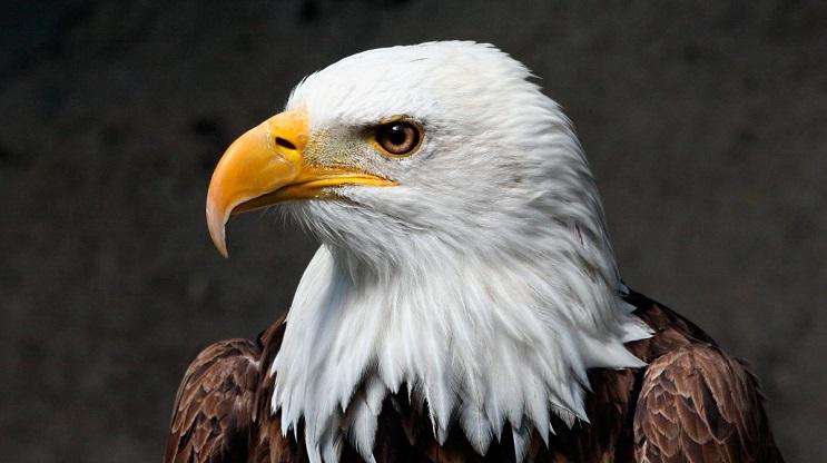 Este hombre arriesgó su propia seguridad para salvar a estas águilas en desgracia 1