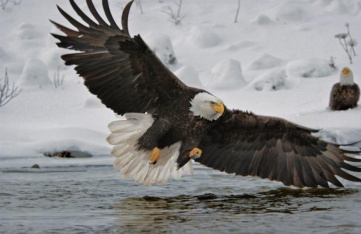 Este hombre arriesgó su propia seguridad para salvar a estas águilas en desgracia 2