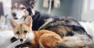 Este zorro ha encontrado en este perro una verdadera y linda amistad
