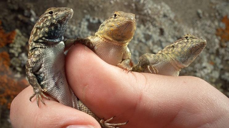 La genética ha jugado piedra, papel o tijera con estas lagartijas 3