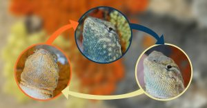 La genética ha jugado piedra, papel o tijera con estas lagartijas por millones de años