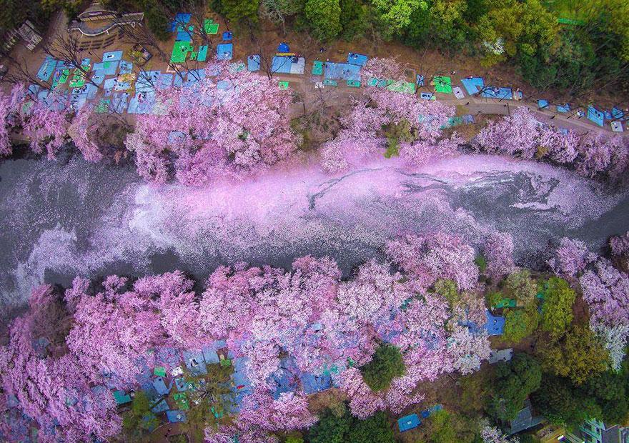 La magia de los árboles de cerezo