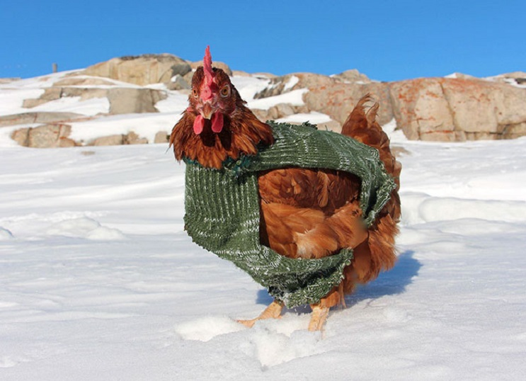Conoce la travesía por el mundo de este joven y su gallina 10