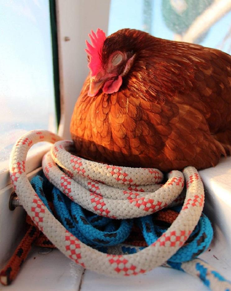 Conoce la travesía por el mundo de este joven y su gallina 15