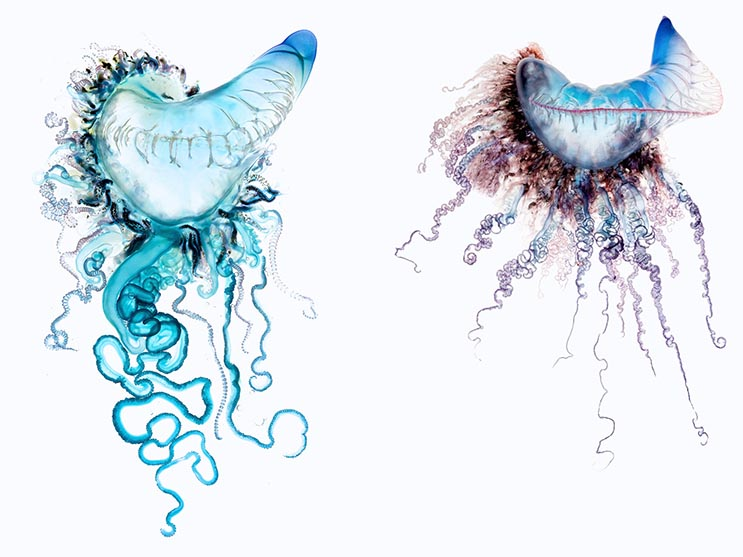 Deadly Beauty A Portrait of the Portuguese Man of War  3
