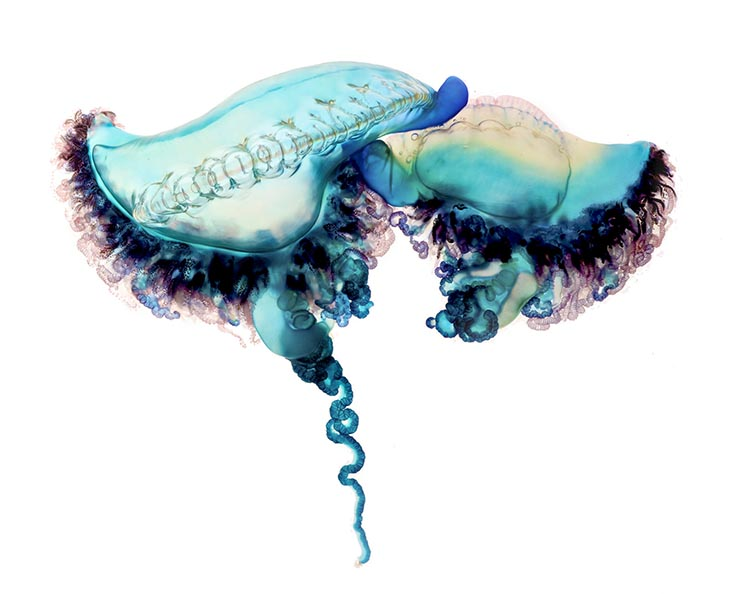 Deadly Beauty A Portrait of the Portuguese Man of War