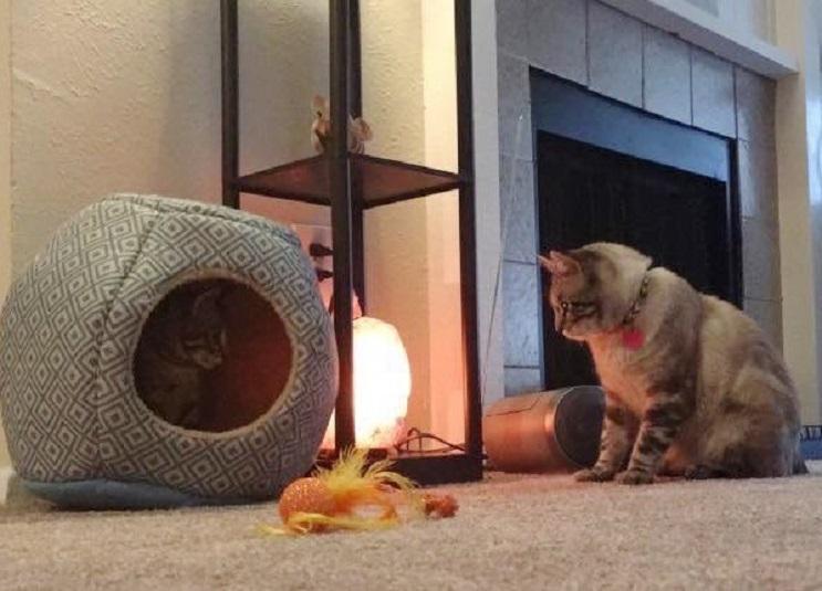 Del más tímido al más amoroso Conoce la historia de este pequeño felino rescatado 11