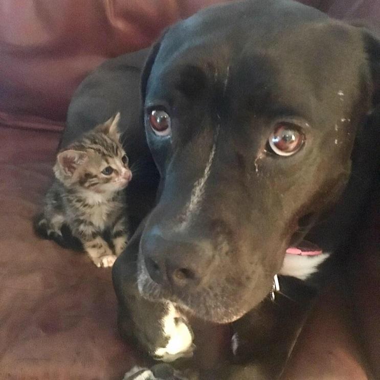 Esta perra adulta asumió el rol de madre con este pequeño gato bebé 02