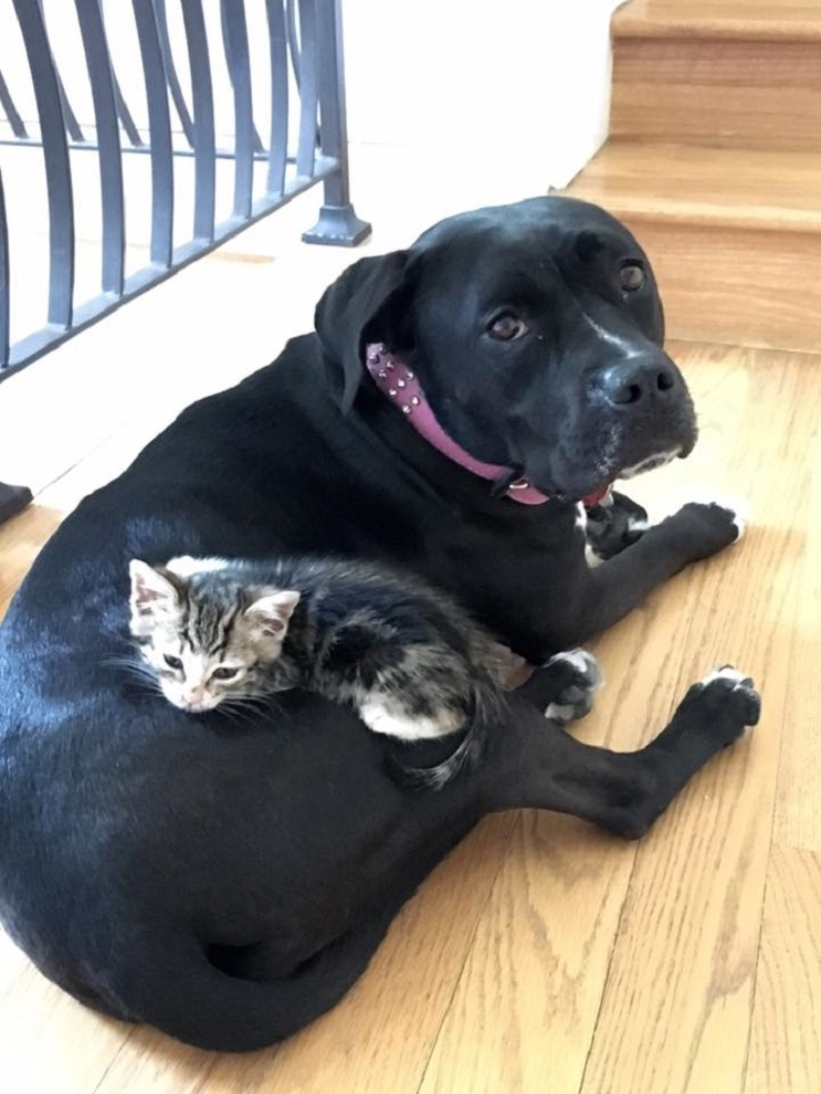 Esta perra adulta asumió el rol de madre con este pequeño gato bebé 04
