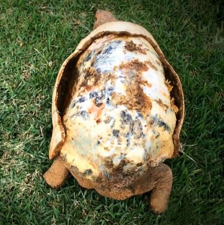 Esta tortuga sobrevivió a incendio y recibió el primer caparazón en 3D del mundo 1
