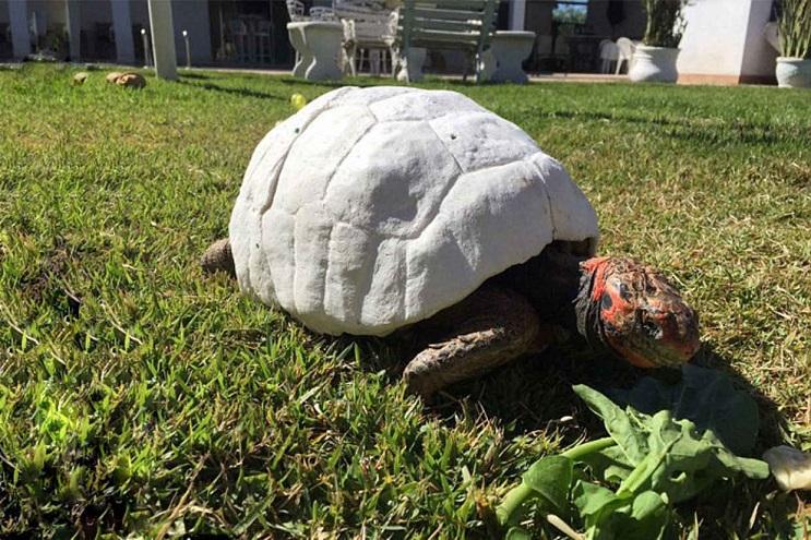 Esta tortuga sobrevivió a incendio y recibió el primer caparazón en 3D del mundo 5