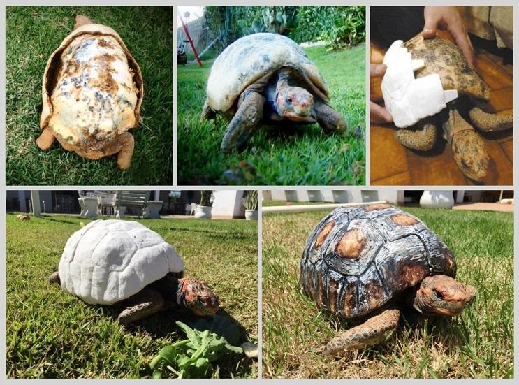 Esta tortuga sobrevivió a incendio y recibió el primer caparazón en 3D del mundo 8