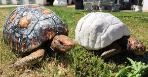 Esta tortuga sobrevivió a incendio y recibió el primer caparazón impreso en 3D del mundo