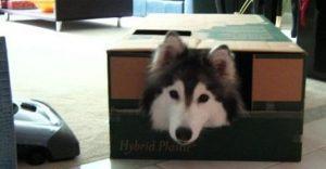 Este Husky fue criado por gatos y ahora no sabe cómo ser un perro