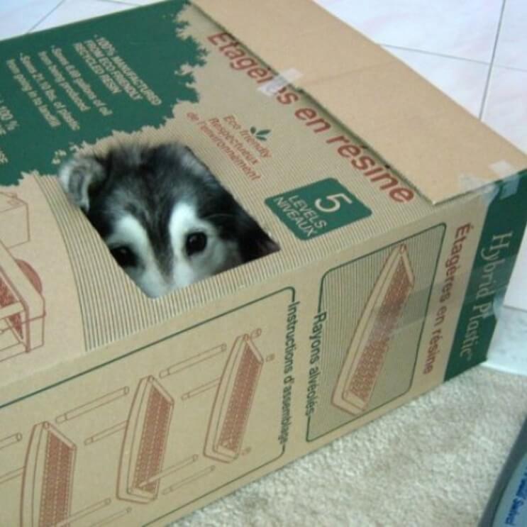 Este Husky fue criado por gatos y ahora no sabe cómo ser un perro 04