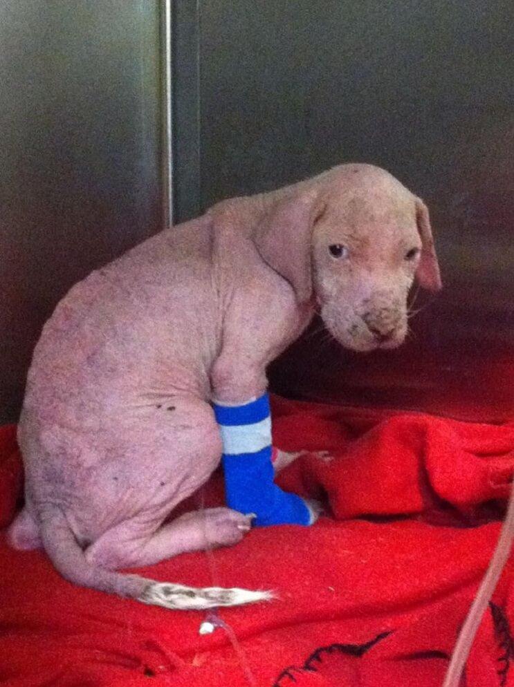 Este Pit Bull no puede creer que su rescatador haya regresado para adoptarlo 001